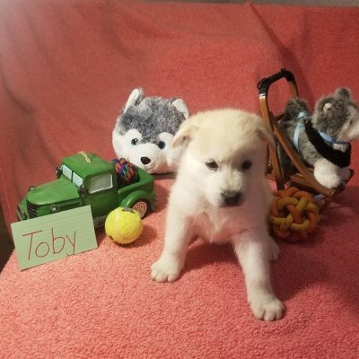 Toby - Mixed Breed puppies in Houghton Lake, Michigan for sale