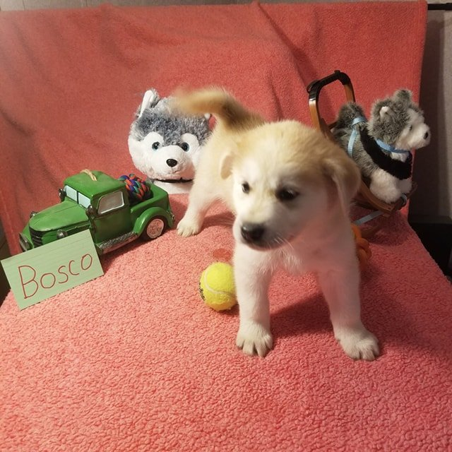Bosco - Mixed Breed pups for sale in Houghton Lake, Michigan