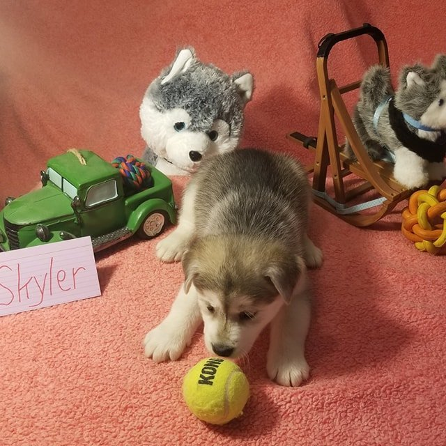 Skyler - Mixed breed puppers for sale in Houghton Lake, Michigan