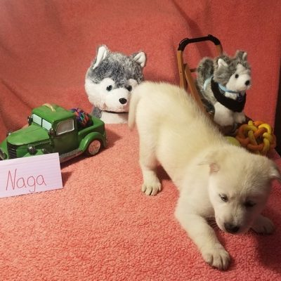 Naga - Mixed  (Husky - Golden Retriever - Chow) pups for sale in Houghton Lake, Michigan