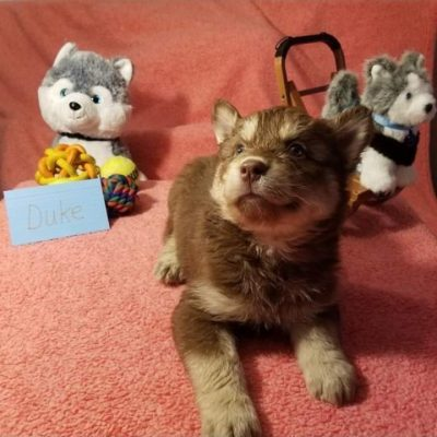 Duke – Mixed pups (Husky – Golden Retriever – Chow) for sale in Houghton Lake, Michigan
