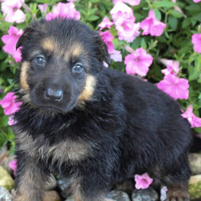 Ben - German Shepherd puppy for sale in Grabill, Indiana