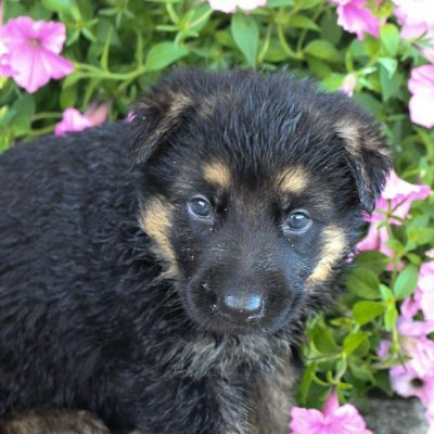 Sue - female AKC German Shepherd pup near Fort Wayne, Indiana for sale