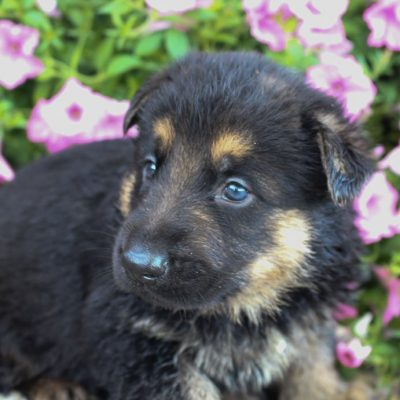 Mark - puppy German Shepherds for sale near Fort Wayne, Indiana