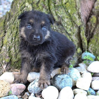 Puppies for Sale near me (Find your Perfect Puppy Match