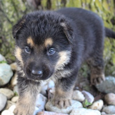 Harvey - German Shepherd pups in Grabill, Indiana for sale