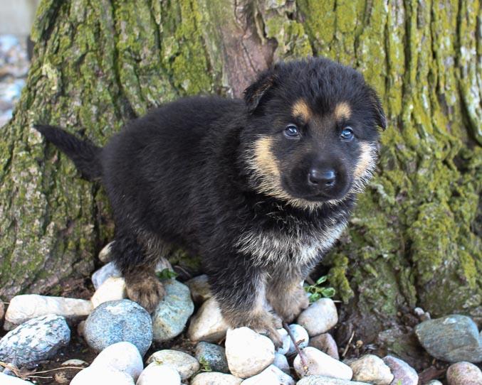 Harvey - German Shepherd pups in Grabill, Indiana for sale