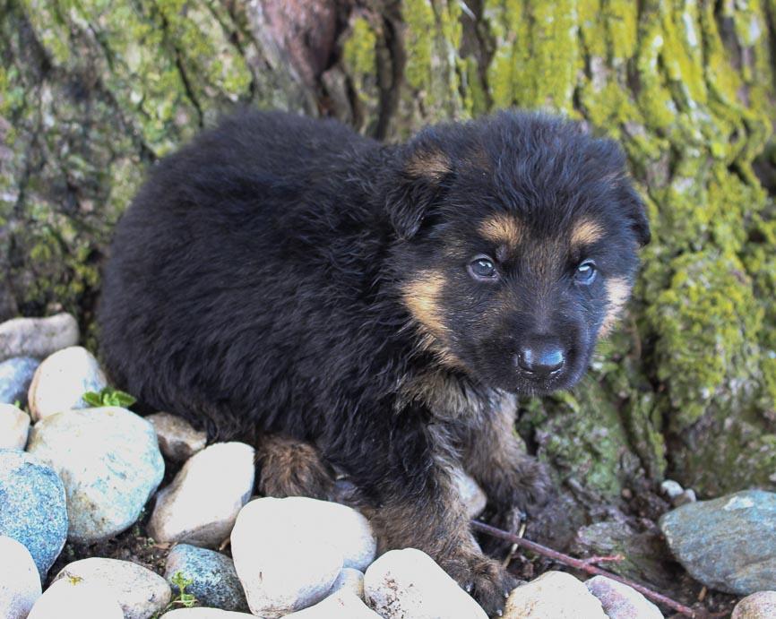Matt - German Shepherd puppies for sale near Fort Wayne, Indiana