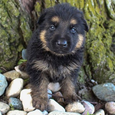 Matt - German Shepherd puppies for sale near Fort Wayne, Indiana