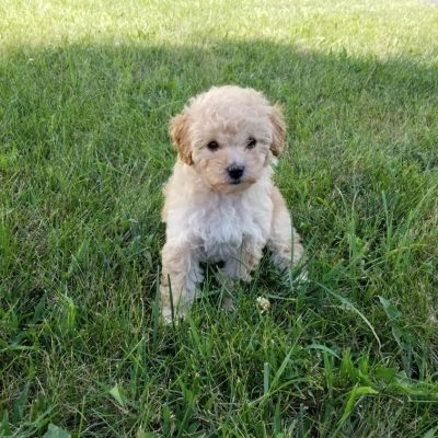 Mary Jane (MJ) - a female Mini Poodle puppy in Troutman, North Carolina for sale
