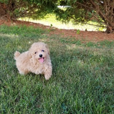 Hammy - AKC Miniature Poodle puppies in North Carolina for sale