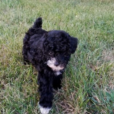May - Mini Poodle puppies for sale in Troutman, North Carolina