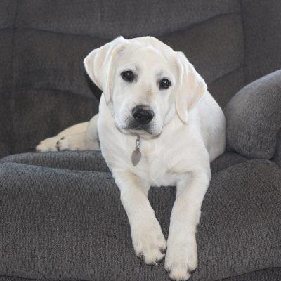 Red Female: White English Labrador Retriever w/ Champion Bloodlines (Heyburn, Idaho)