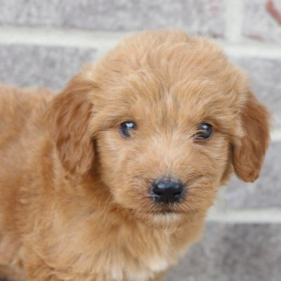 Makayla - female Goldendoodle puppy near Fort Wayne, IN for sale
