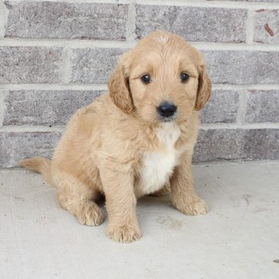 Makenna – female Goldendoodle pup in Woodburn, Indiana for sale