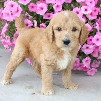 Mackony – male Goldendoodle puppy near Fort Wayne, IN for sale