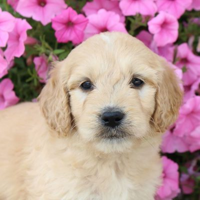 Melanie – female Goldendoodle for sale near Fort Wayne, Indiana