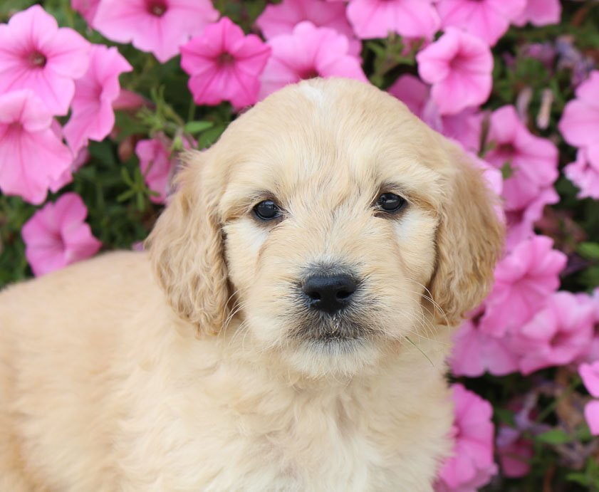 Dog Breeders Near Me - Find a Breeder Near Me Today | VIP