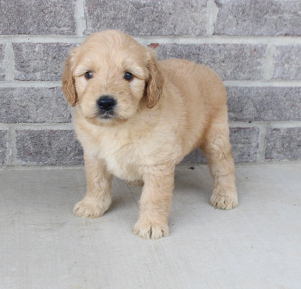 Marko – a male puppy Goldendoodle for sale near Fort Wayne, IN