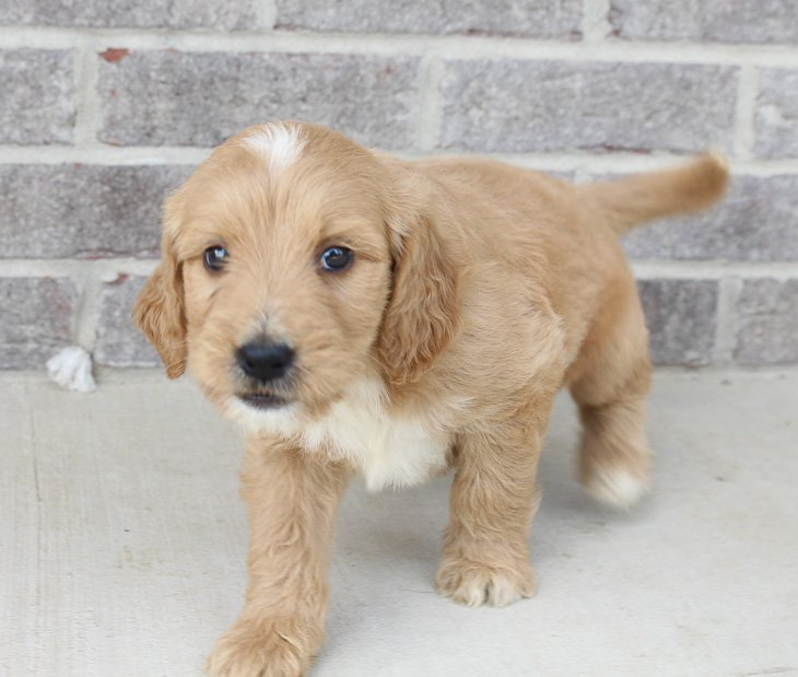 Marto – male Goldendoodle pupper near Fort Wayne, IN for sale
