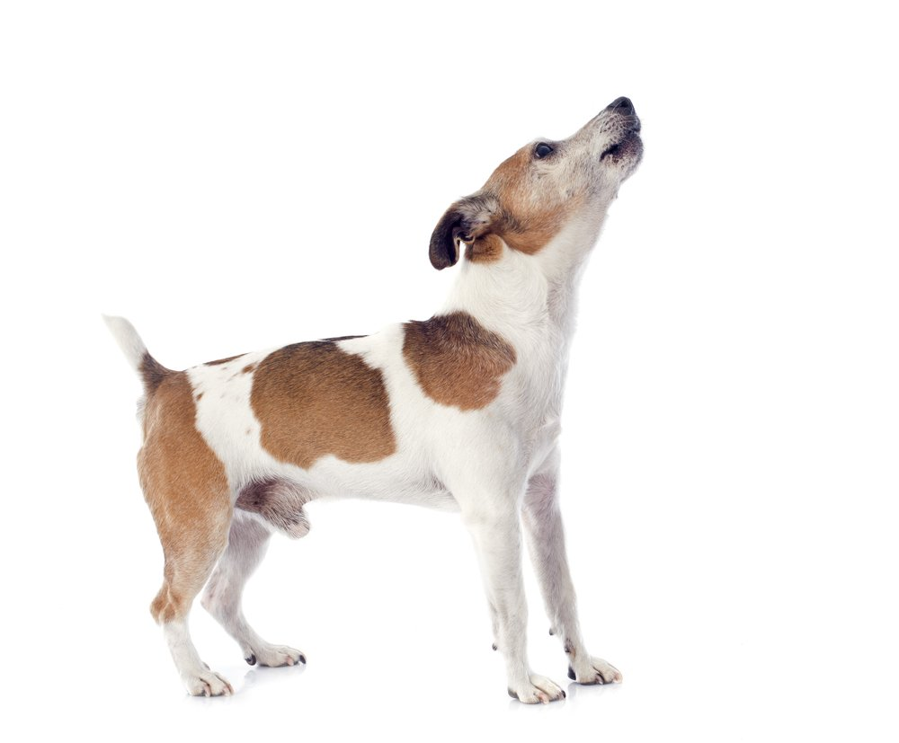 Jack Russel Terrier barking out loud