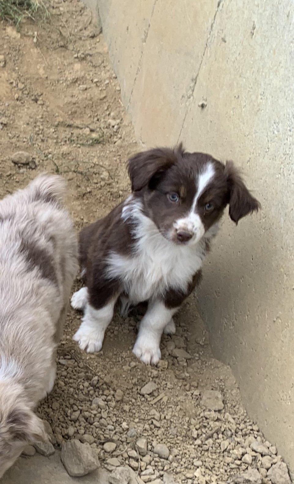 Red Tri female - Mini Australian Shepherd pup for sale in Springfield, Ohio