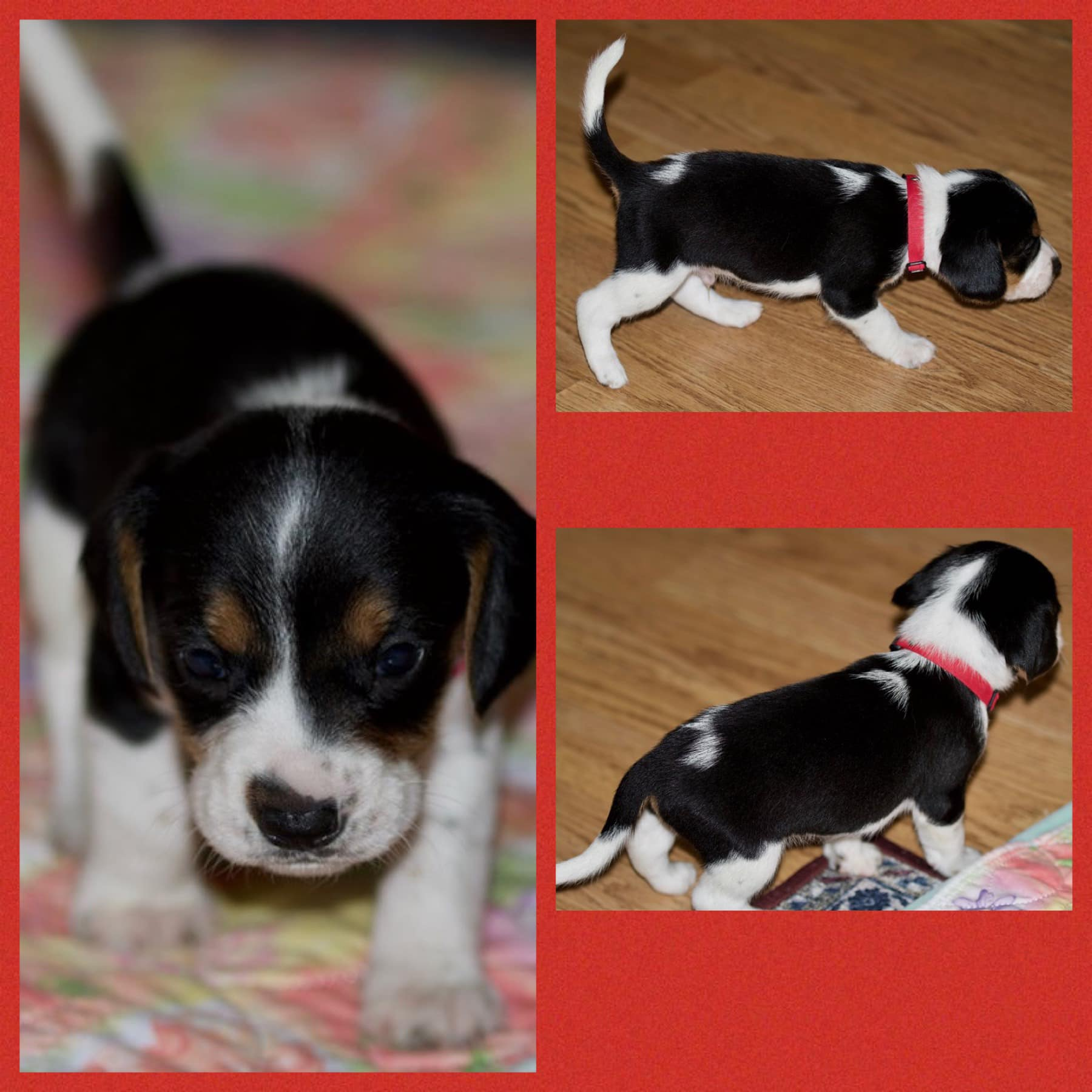 Red Collar - Beagle puppies for sale in Viper, Kentucky | VIP Puppies