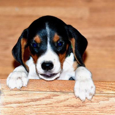 Green Collar - AKC Beagle puppies in Kentucky for sale
