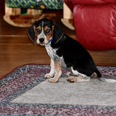 Blue Collar - a male akc puppy Beagle for sale in Viper, Kentucky