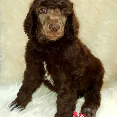 Hugo - male AKC Poodle pup for sale in Seaman, Ohio