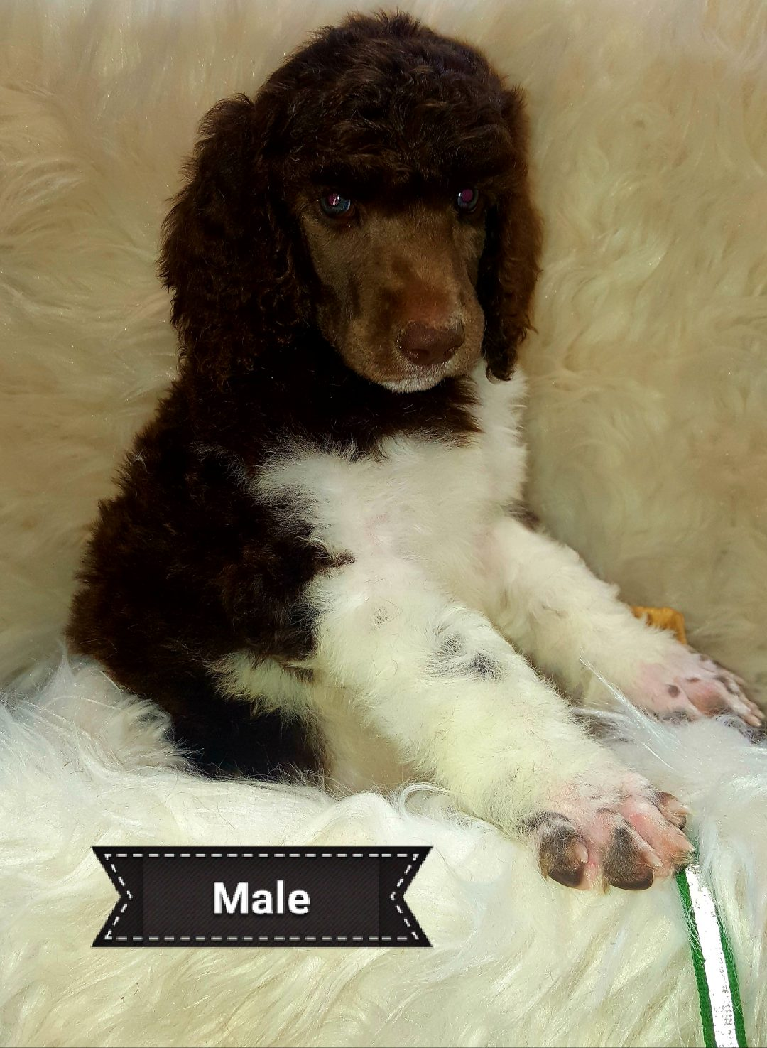 scout - AKC Standard Poodle for sale in Seaman, Ohio