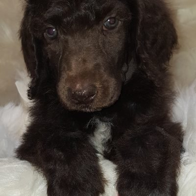 Princess - female AKC Standard Poodle puppy for sale in Seaman, Ohio