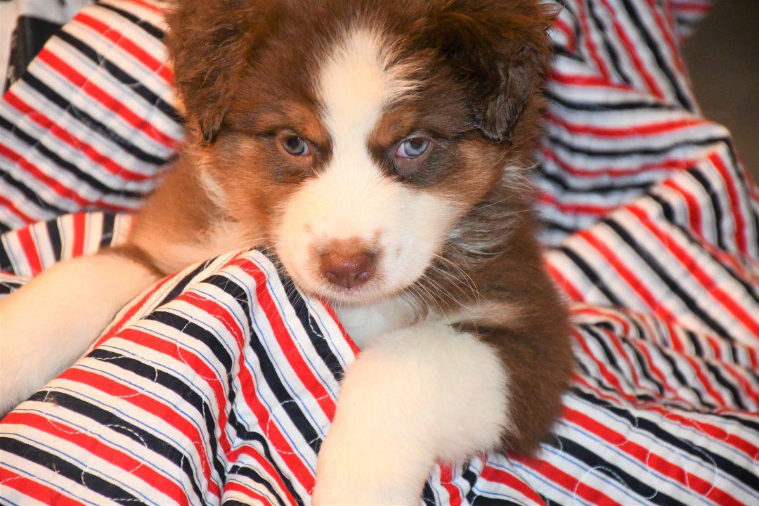 Ania - Champion Pedigree AKC Registered Female Australian Shepherd puppy in Hillsdale, Illinois