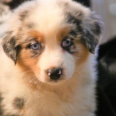Jaina - female Australian Shepherd for sale in Hillsdale, Illinois