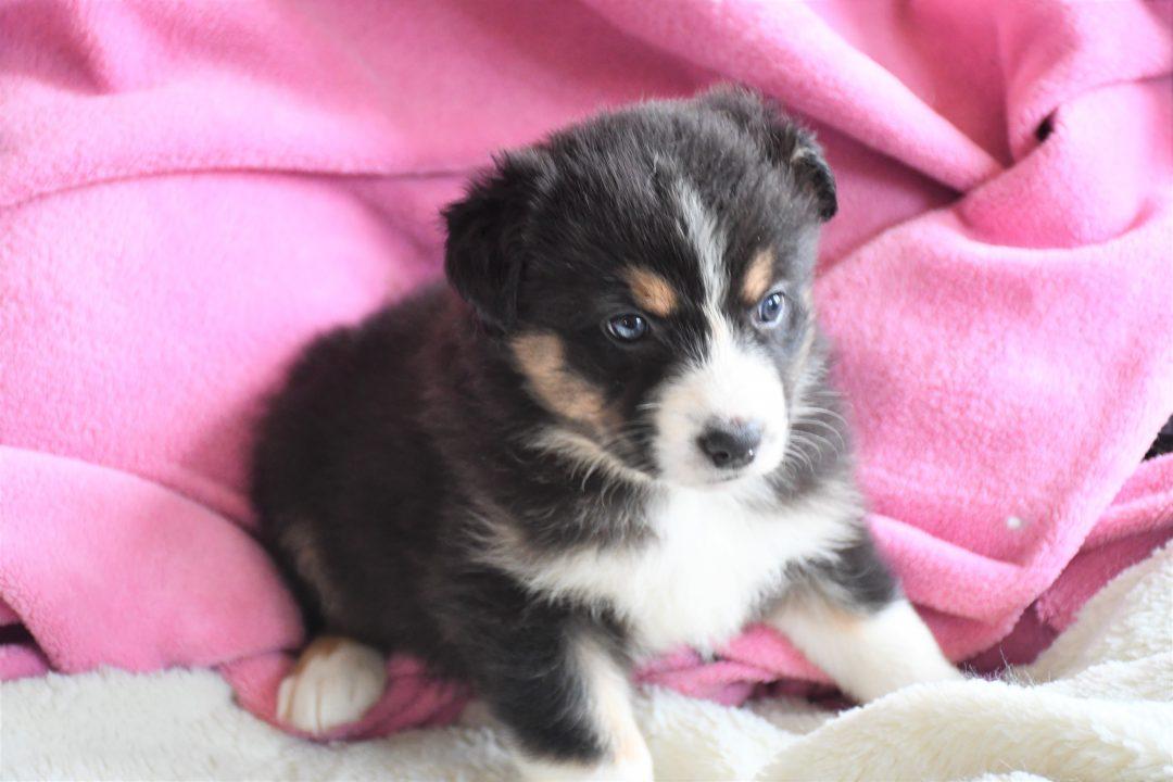 Leia - Champion Pedigree AKC Registered Girl puppy Australian Shepherd for sale in Hillsdale, IL