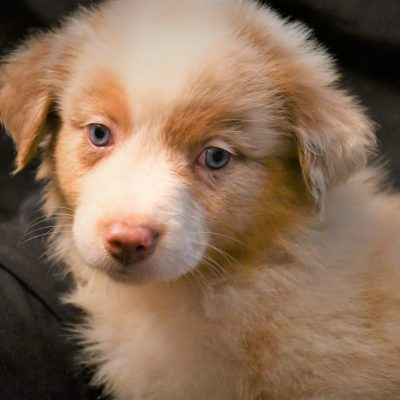 Obi - Champion Pedigree AKC Registered Australian Shepherd puppies for sale in Hillsdale, Illinois