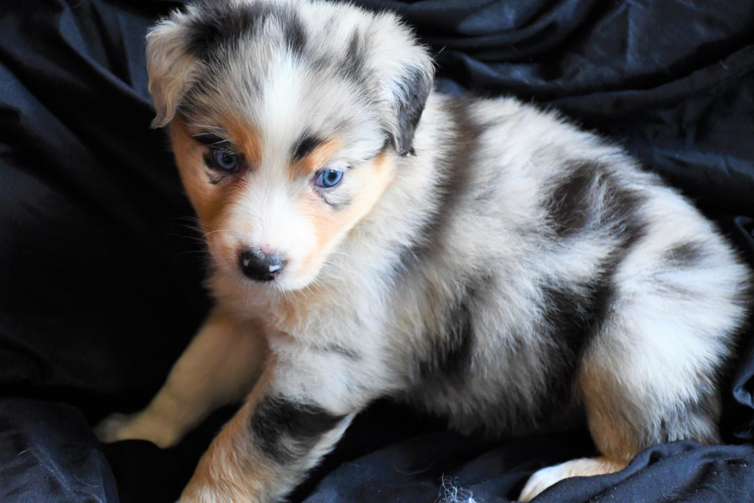 Yoda - Champion Pedigree AKC Registered Australian Shepherd puppy for sale in Hillsdale, Illinois