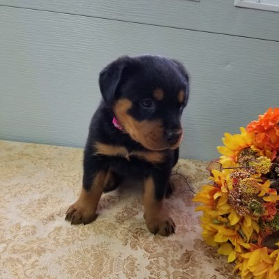 Daisy - female Rottweiler puppies for sale near Fort Wayne, Indiana