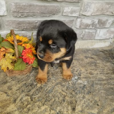 Buster - AKC puppy Rottweilers for sale in Grabill, Indiana