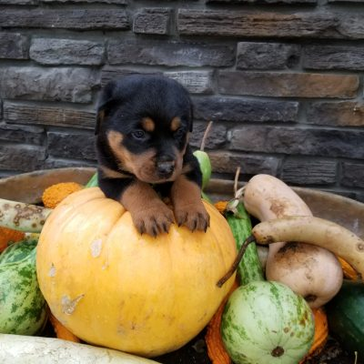 Duke - Male Rottweiler puppers for sale in Grabill, Indiana