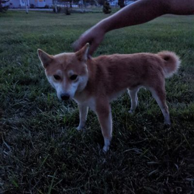 Boss Hog - Male AKC Shiba Inu puppy in Goshen, Indiana for sale