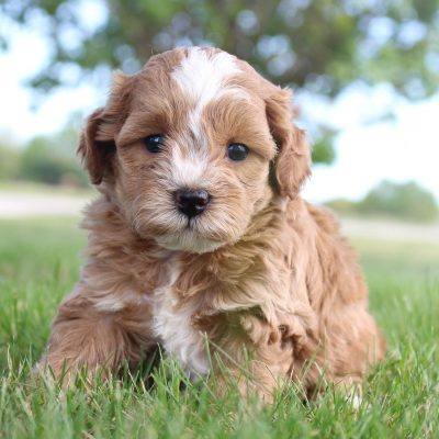 Cokey - Cavapoos for sale in Shipshewana, Indiana