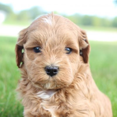 Colette - Female Cavapoo puppy in Shipshewana, Indiana for sale