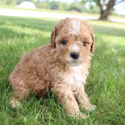 Coira - Female Cavapoo pups in Shipshewana, Indiana for sale