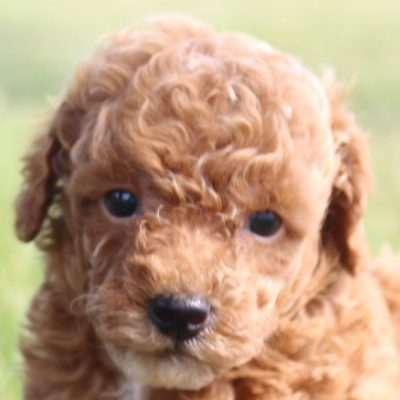 Parton – Miniature Poodle dogs in Shipshewana, Indiana for sale