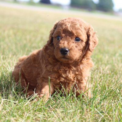 Patrick – male Mini Poodles doggies in Shipshewana, Indiana for sale