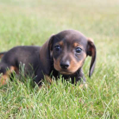 Dwan - puppy AKC Dachshunds for sale in Shipshewana, Indiana