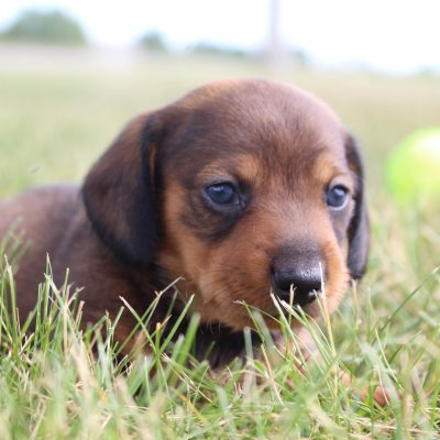 Dyson - Male AKC Dachshund puppers in Shipshewana, Indiana for sale