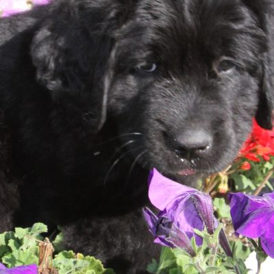 MYA female AKC Newfoundland puppies in Davison, Michigan for sale