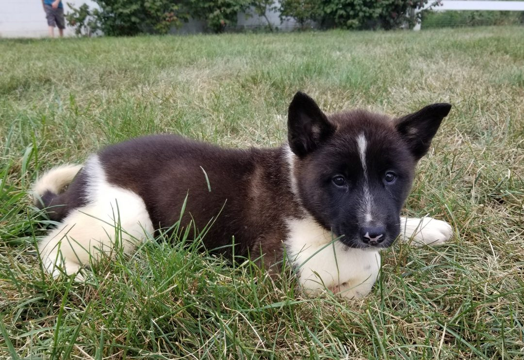 Oreo – a male ACA puppy Akita for sale in Ohio